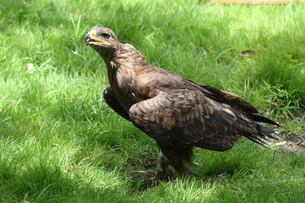the tawny eagleの写真素材 [FYI00816047]
