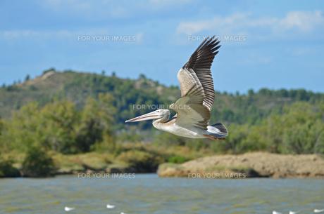 the flight of the pelican 5の写真素材 [FYI00816200]