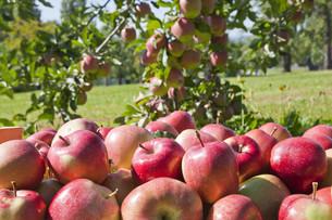 apple harvestの写真素材 [FYI00816294]