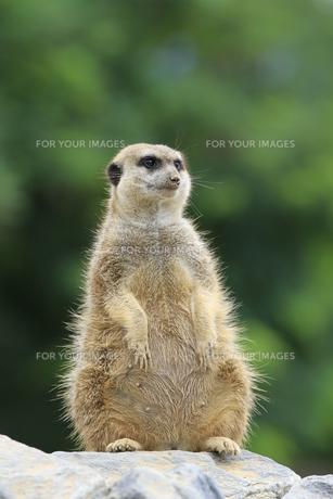meerkats in closeの写真素材 [FYI00816372]