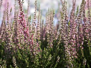 heather violetの素材 [FYI00816441]