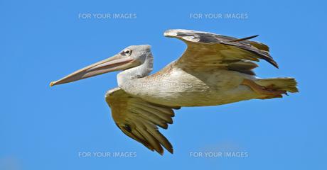 pelican in flightの写真素材 [FYI00816490]