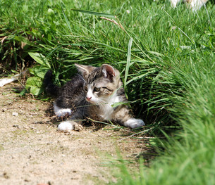 striped kitten,backlitの素材 [FYI00816548]