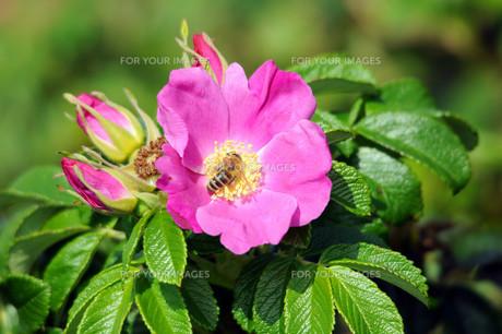 sylter- roseの素材 [FYI00816660]