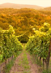 german vineyard on the mountain roadの写真素材 [FYI00816887]