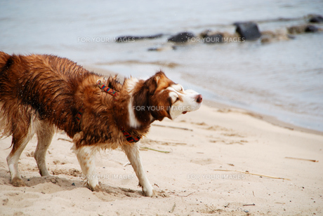 husky shakes water from furの素材 [FYI00817211]
