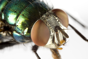 house fly in extreme close upの写真素材 [FYI00817808]