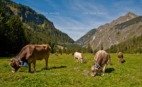 the last day of the good alpe before viehscheidの写真素材 [FYI00817830]