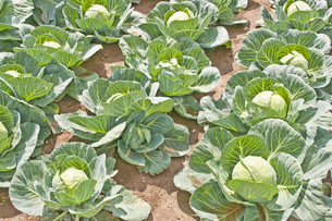 cultivation of cabbageの素材 [FYI00817990]