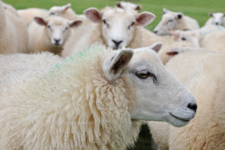 sheepの素材 [FYI00818712]