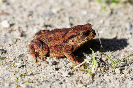 common toad - bufoの写真素材 [FYI00820154]