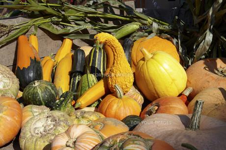 pumpkin harvest on trailerの写真素材 [FYI00820753]