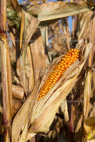 corn cob in the cornfield before harvestの写真素材 [FYI00821267]