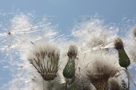 flower in the windの写真素材 [FYI00822686]