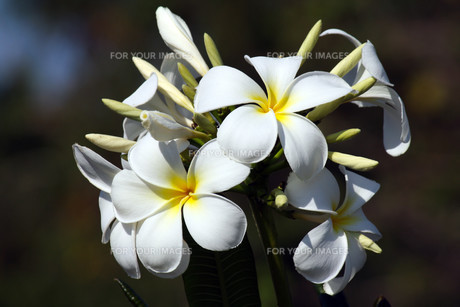 flowerの素材 [FYI00823255]
