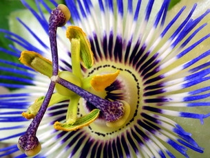 passionflowerの素材 [FYI00823998]