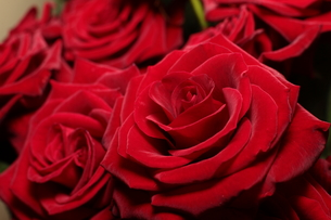rosesの写真素材 [FYI00824003]