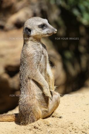 meerkatの写真素材 [FYI00824441]