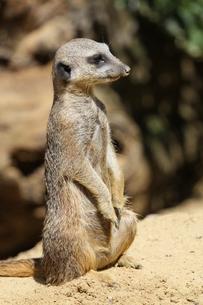 meerkatの素材 [FYI00824441]