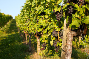 vineyard in remstalの写真素材 [FYI00825244]