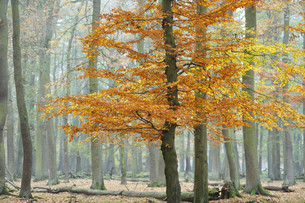 autumn in wisentgehege forest,springe,germany.の写真素材 [FYI00826367]