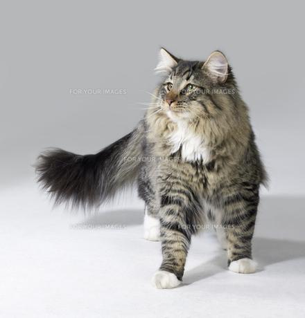 tabby norwegian forest catの素材 [FYI00827684]