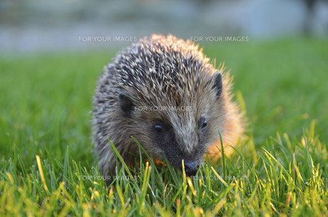 young hedgehog in the autumn evening sunの写真素材 [FYI00828541]