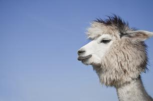 alpacaの素材 [FYI00829848]