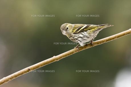 birdの写真素材 [FYI00831223]