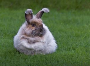 angora rabbitの写真素材 [FYI00833102]