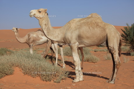camels of the saharaの素材 [FYI00833109]