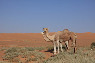 camels of the saharaの素材 [FYI00833125]