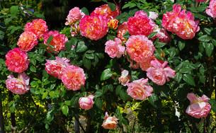 rosebushの素材 [FYI00833187]