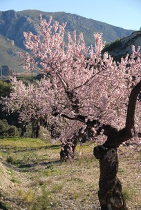 almond blossom in spainの写真素材 [FYI00833945]