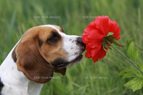 beagle with red flowerの写真素材 [FYI00833997]