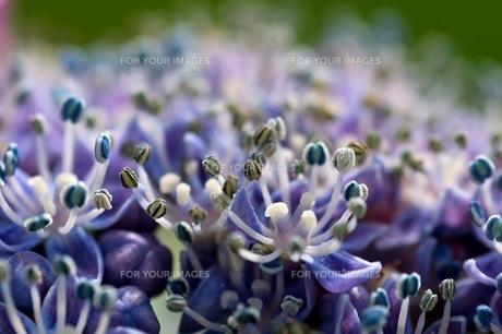 hydrangea in macro shotの写真素材 [FYI00834025]