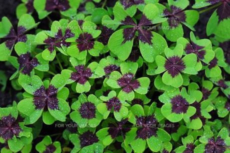 lucky cloverの写真素材 [FYI00834494]