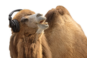 camel with headphones singing passionatelyの写真素材 [FYI00835739]