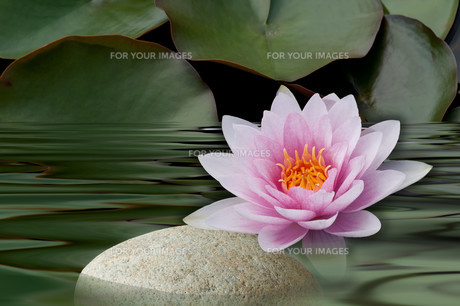 pink water lily with stoneの写真素材 [FYI00835824]