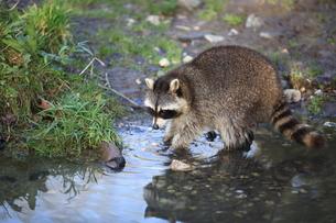 raccoon in closeupの写真素材 [FYI00836183]
