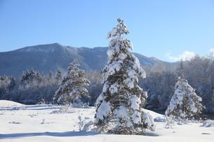 pine treeの写真素材 [FYI00836259]
