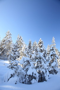 snowy treesの写真素材 [FYI00836508]