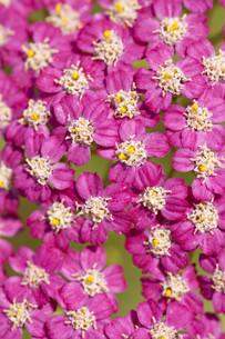 plants_flowersの素材 [FYI00836844]