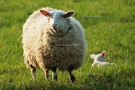 mother sheep and baby sheepの写真素材 [FYI00837303]
