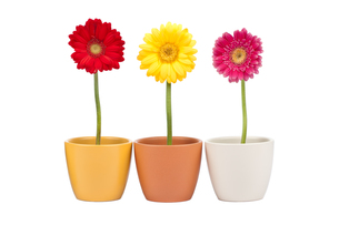 three gerbera flowers in flowerpotの写真素材 [FYI00837516]