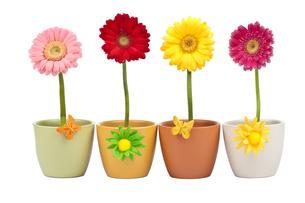 four gerbera flowers in flowerpotの写真素材 [FYI00837534]