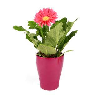 gerberapflanze in flowerpotの写真素材 [FYI00837717]