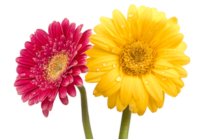 two beautiful gerbera flowers with water dropletsの写真素材 [FYI00837806]