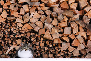 a little cat on a large pile of firewoodの写真素材 [FYI00837834]