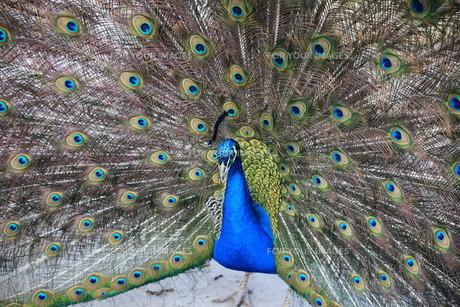 peacock in closeupの素材 [FYI00837968]